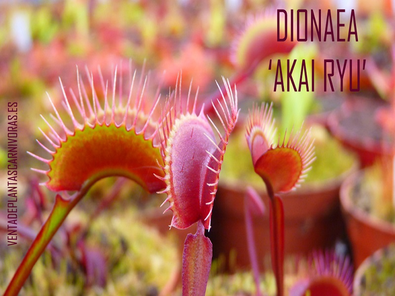 Dionaea muscipula 'Akai ryu' (Red Dragon) planta adulta